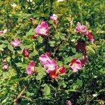 Роза иглистая, шиповник иглистый
