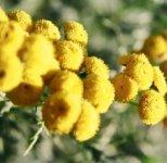 Целебные растения Сибири