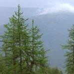 Описание сибирской лиственницы