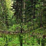 Деревья и леса Сибири