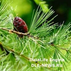 Фармакологические характеристики лиственницы