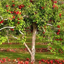 Яблоня Палласова или яблоня сибирская