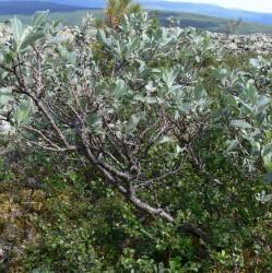 Дерево рода ива сизая