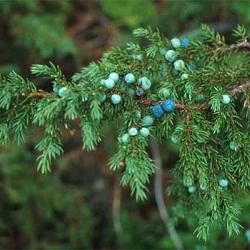 Выращивание можжевельника и влияние на этот процесс экологии