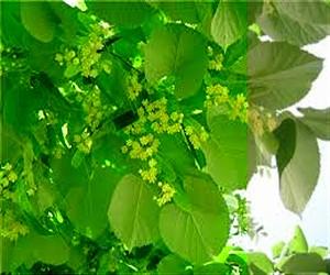 Липа сердцевидная: ботаническое описание, польза для организма