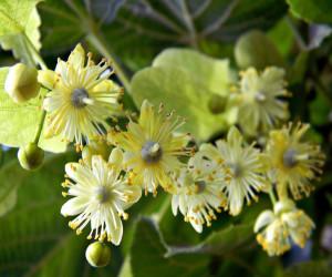 Цветы липы и их полезные свойства
