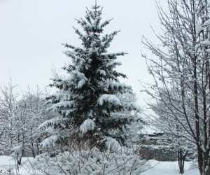 Лиственница зимой стоит без иголочек